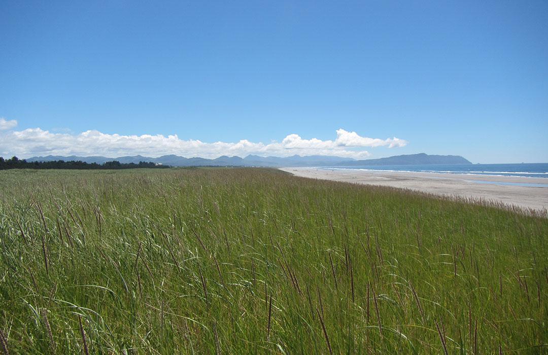 Beach grass on a dune