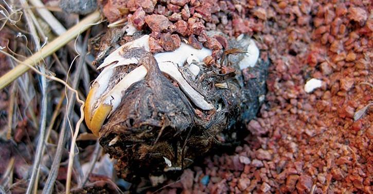skull within owl pellet