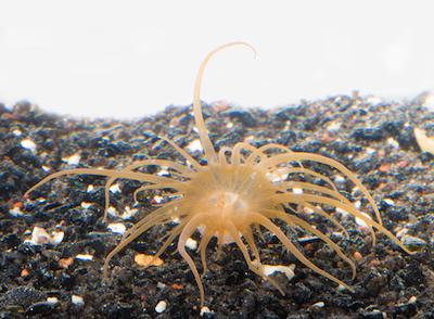 sea anemone Aiptasia sitting on rock