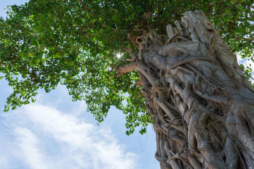 Towering Bodhi tree