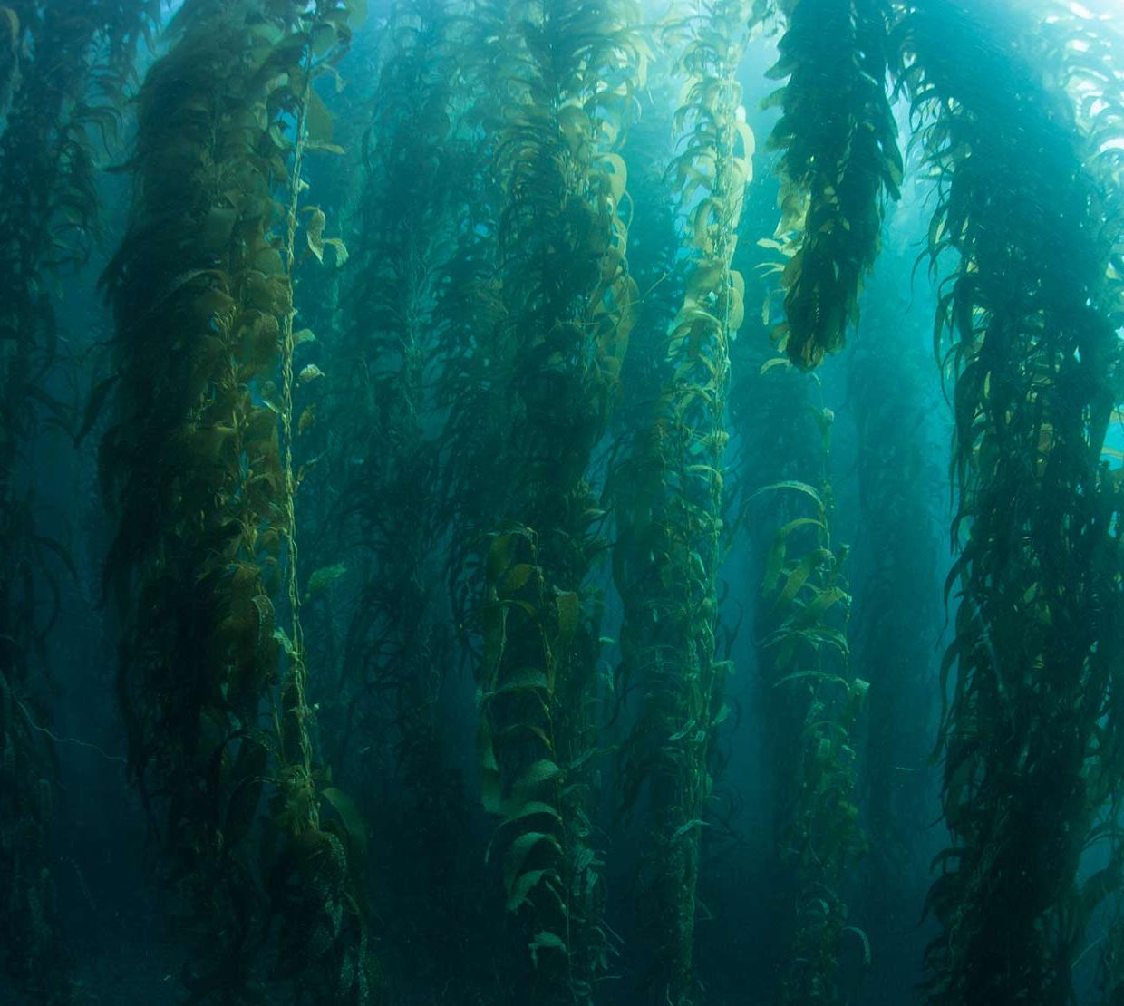 Long branches of seaweed in ocean