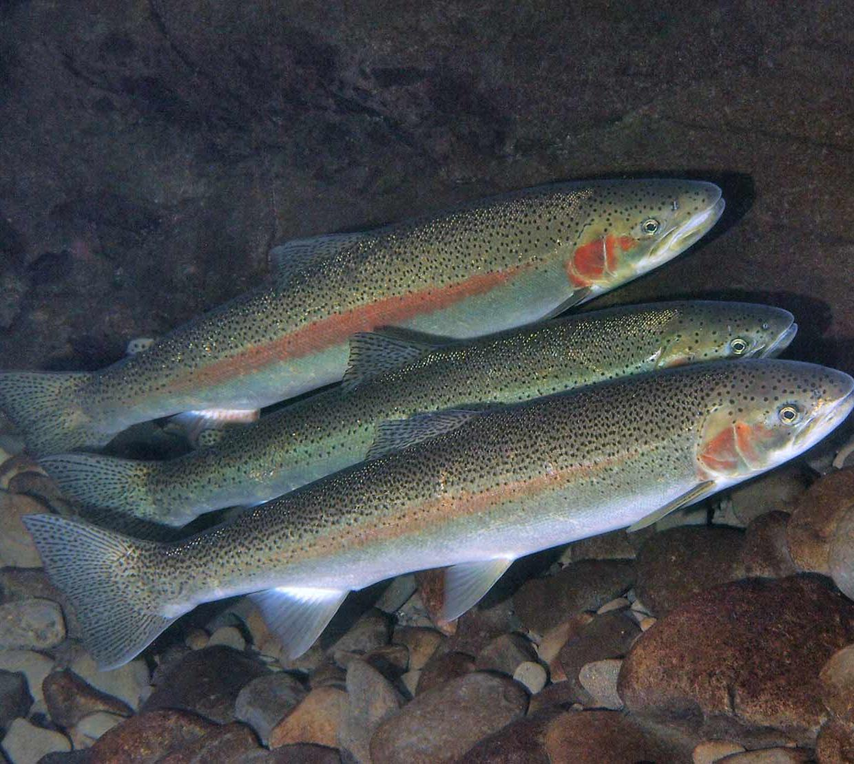 Steelheads swimming in creek