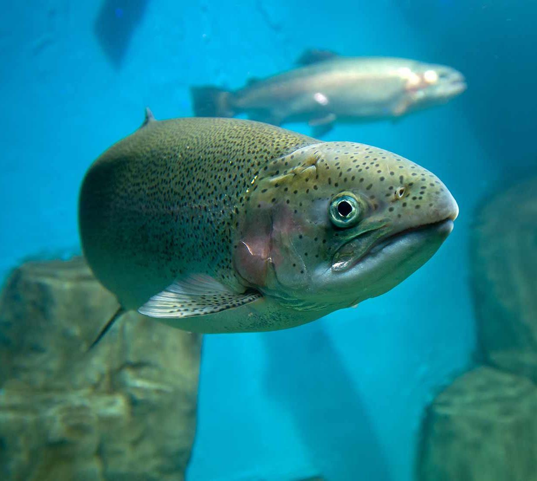 salmon swimming in zoo