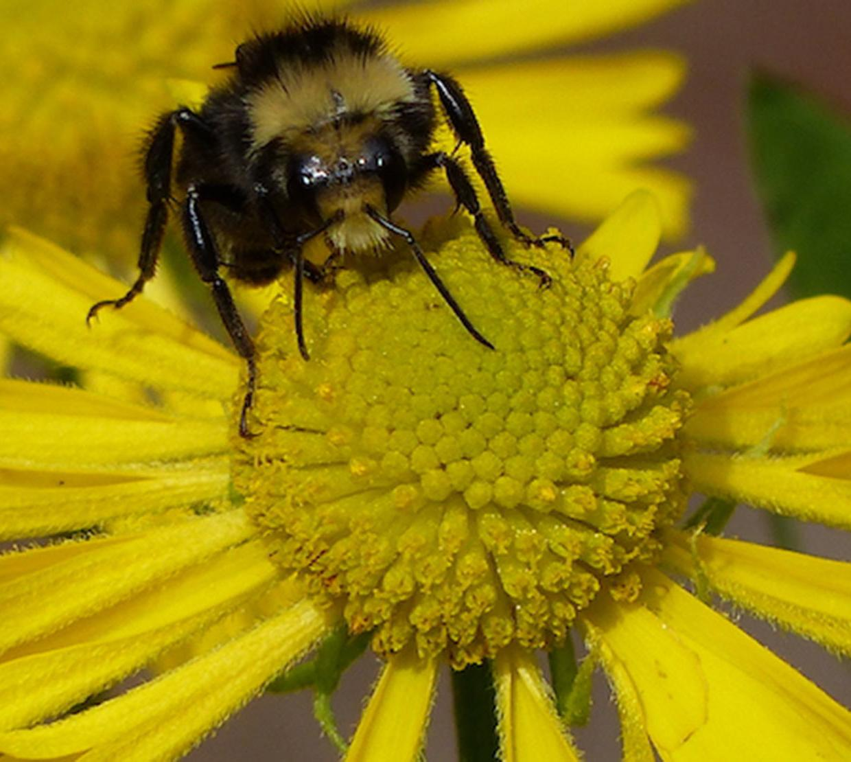 Bee pollinating on yellow daisy