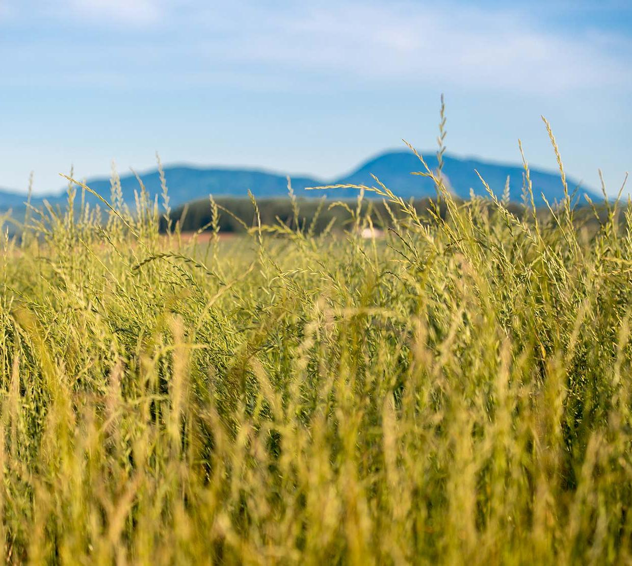 Tall grass field in front of mountain range