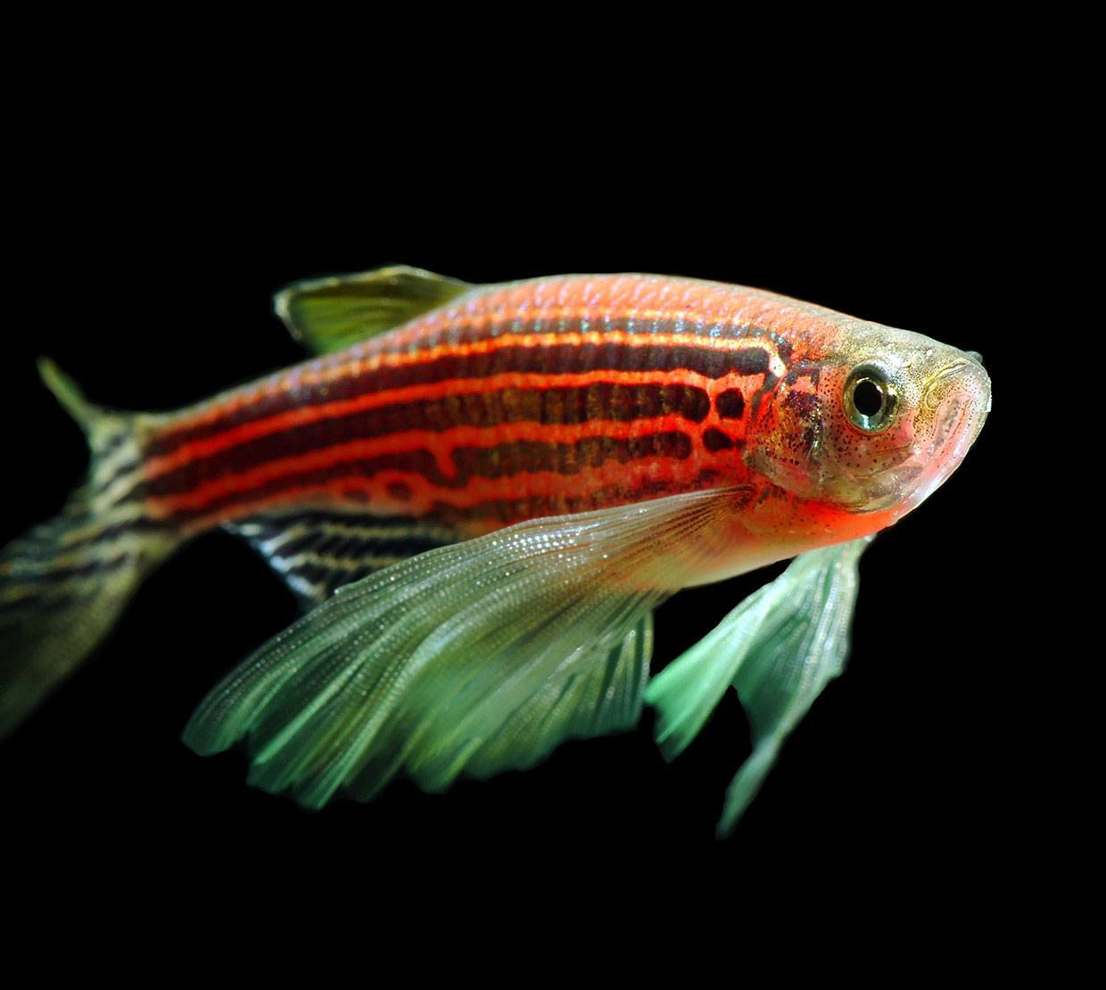 zebrafish in front of black backdrop