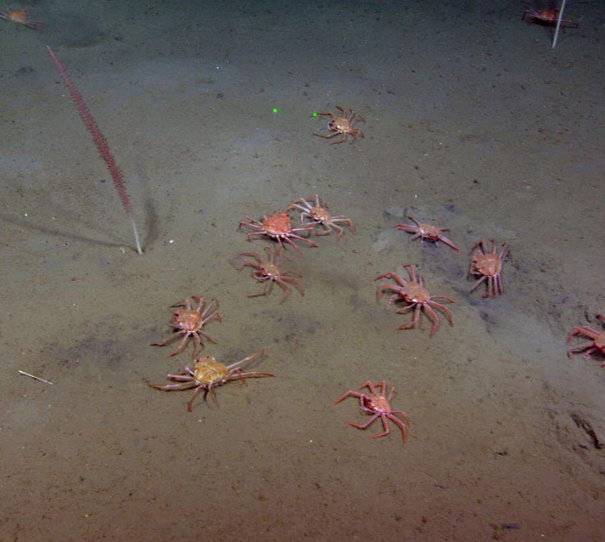 Group of Tanner crabs sitting on ocean floor