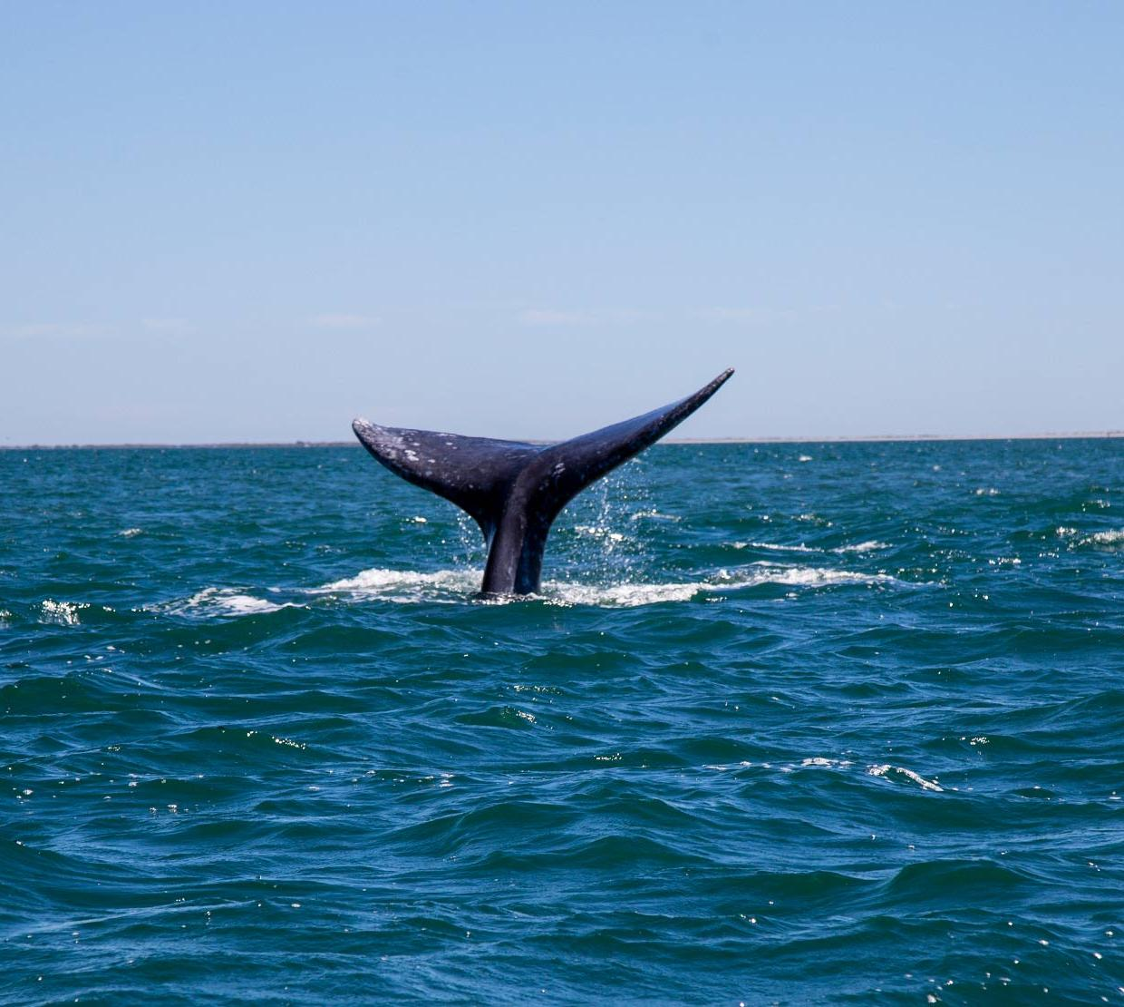 Blue whale tail peering out of ocean surface