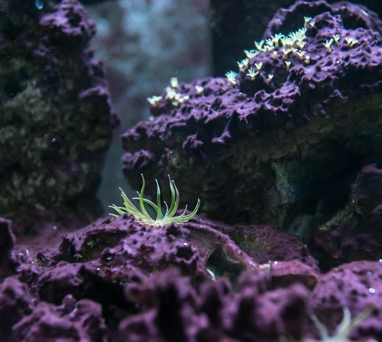 Purple coral at bottom floor of shallow ocean