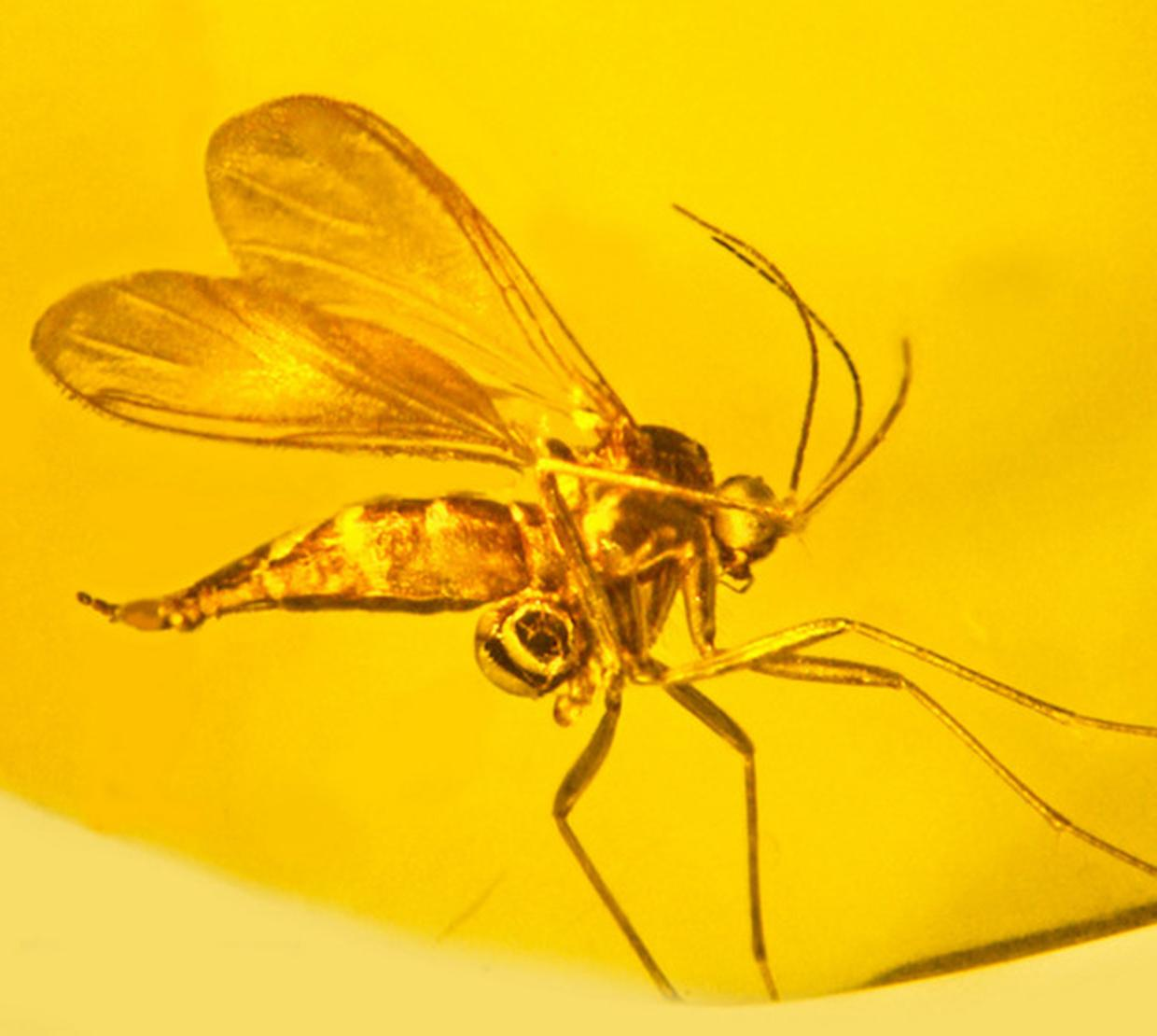 Mosquito fossil in yellow amber