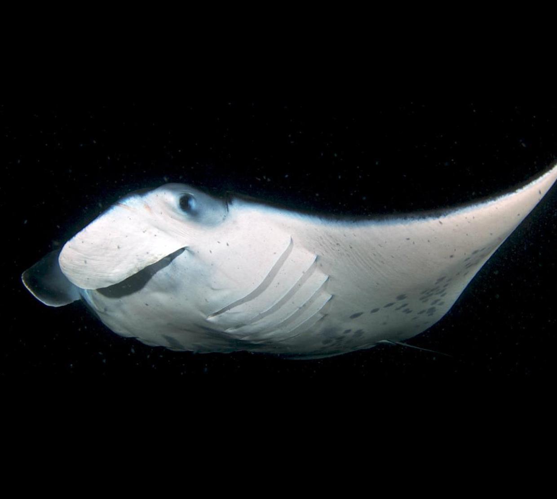 Manta ray swimming in dark ocean