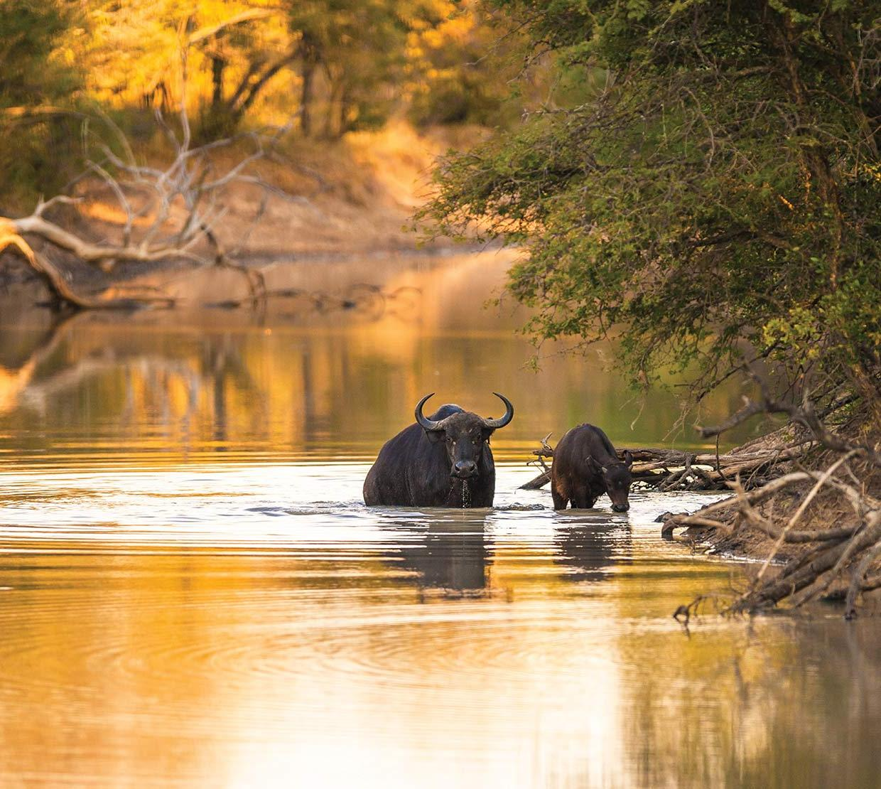 water buffalo drinking from a river