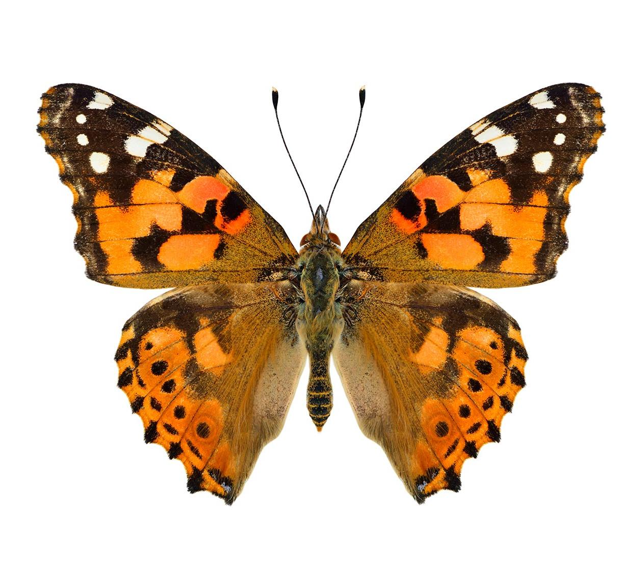 Painted lady butterfly in front of white backdrop