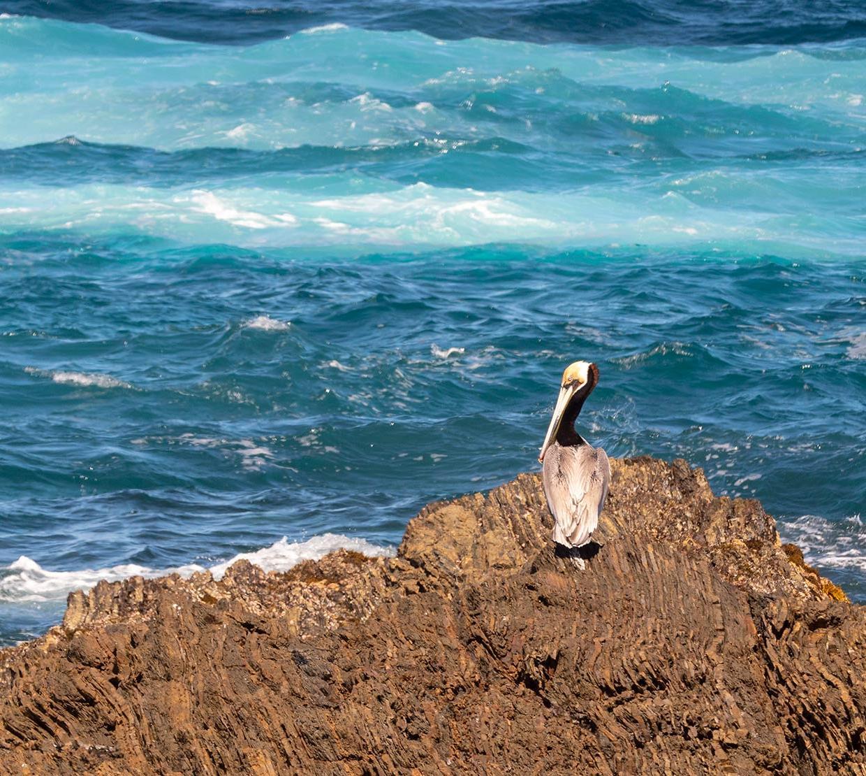 Pelican sitting on rock in front of ocean