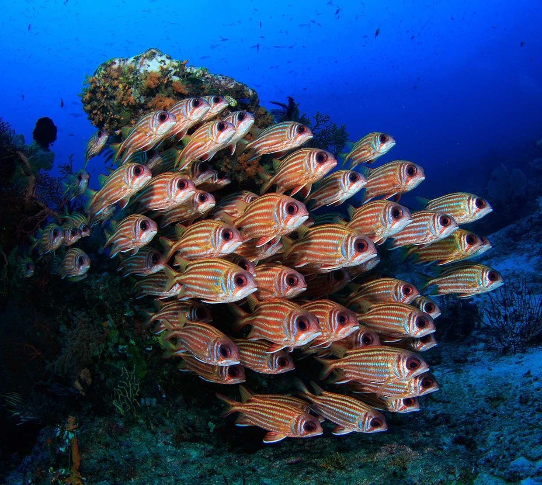 school of Squirrel Fish swimming near seafloor