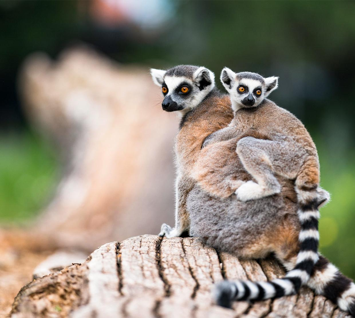 lemurs sitting on log