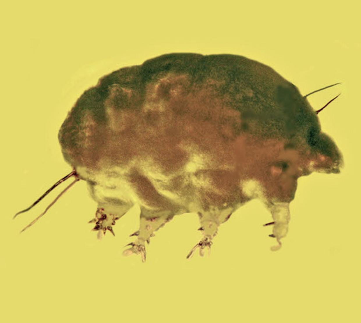 Mold Pig insect fossilized in yellow amber
