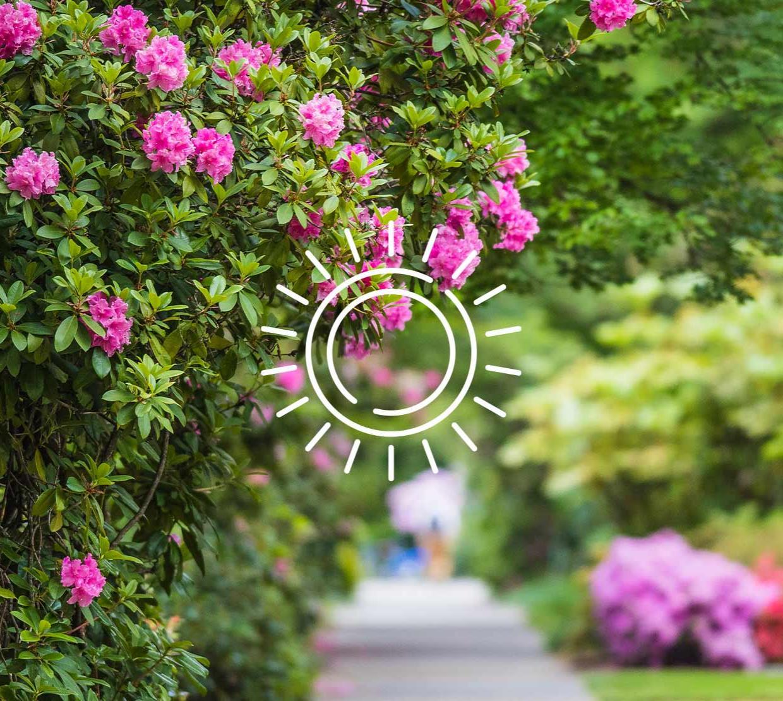 Sun icon above rosebush next to Kidder Hall