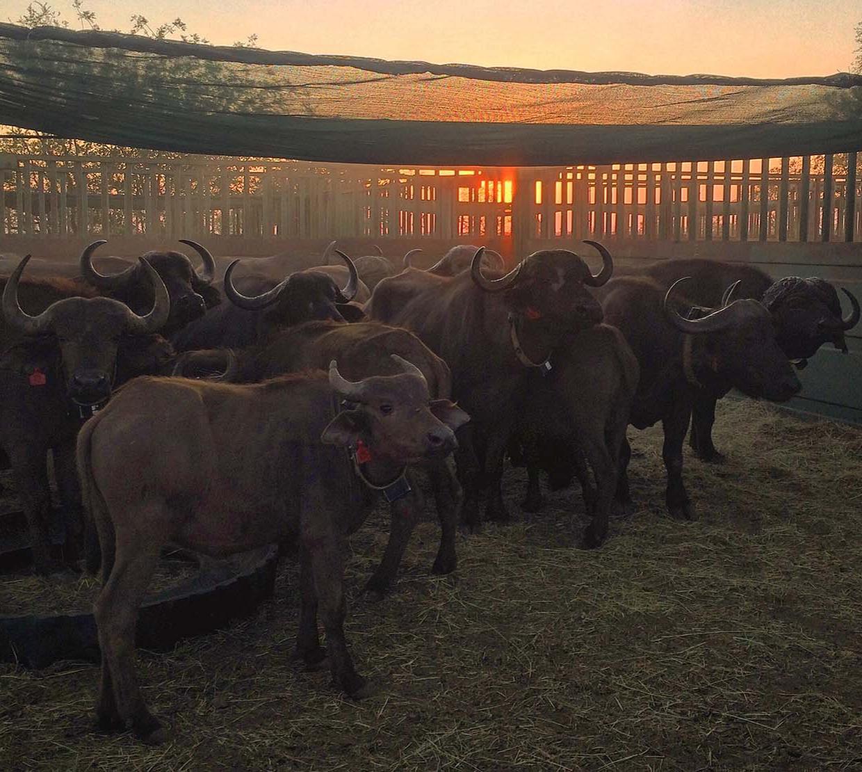 African buffalo heard in corral at sunrise.