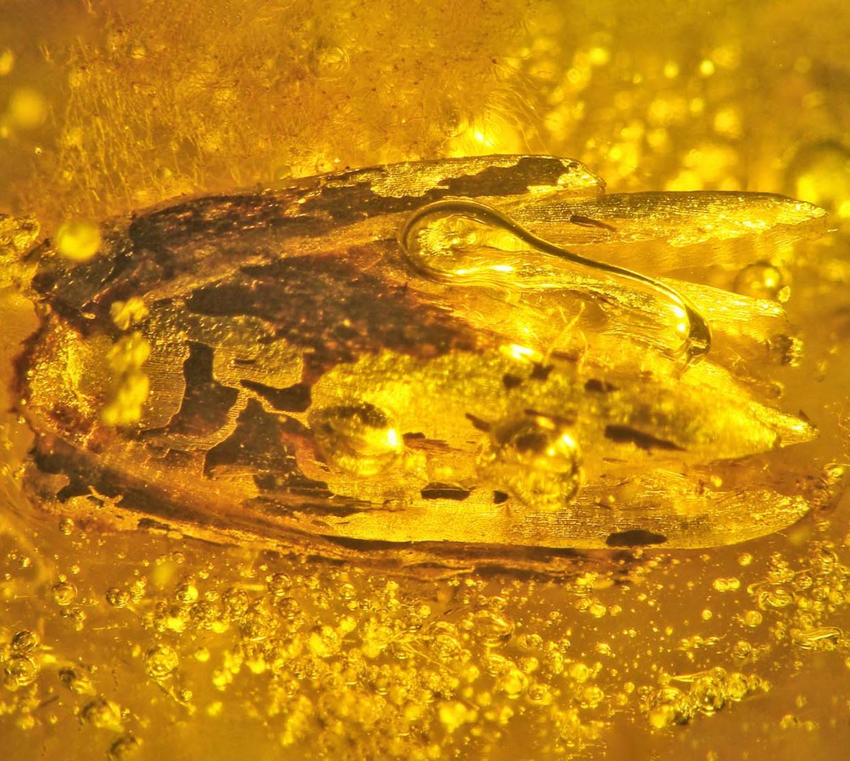 Eograminis balticus in yellow amber.