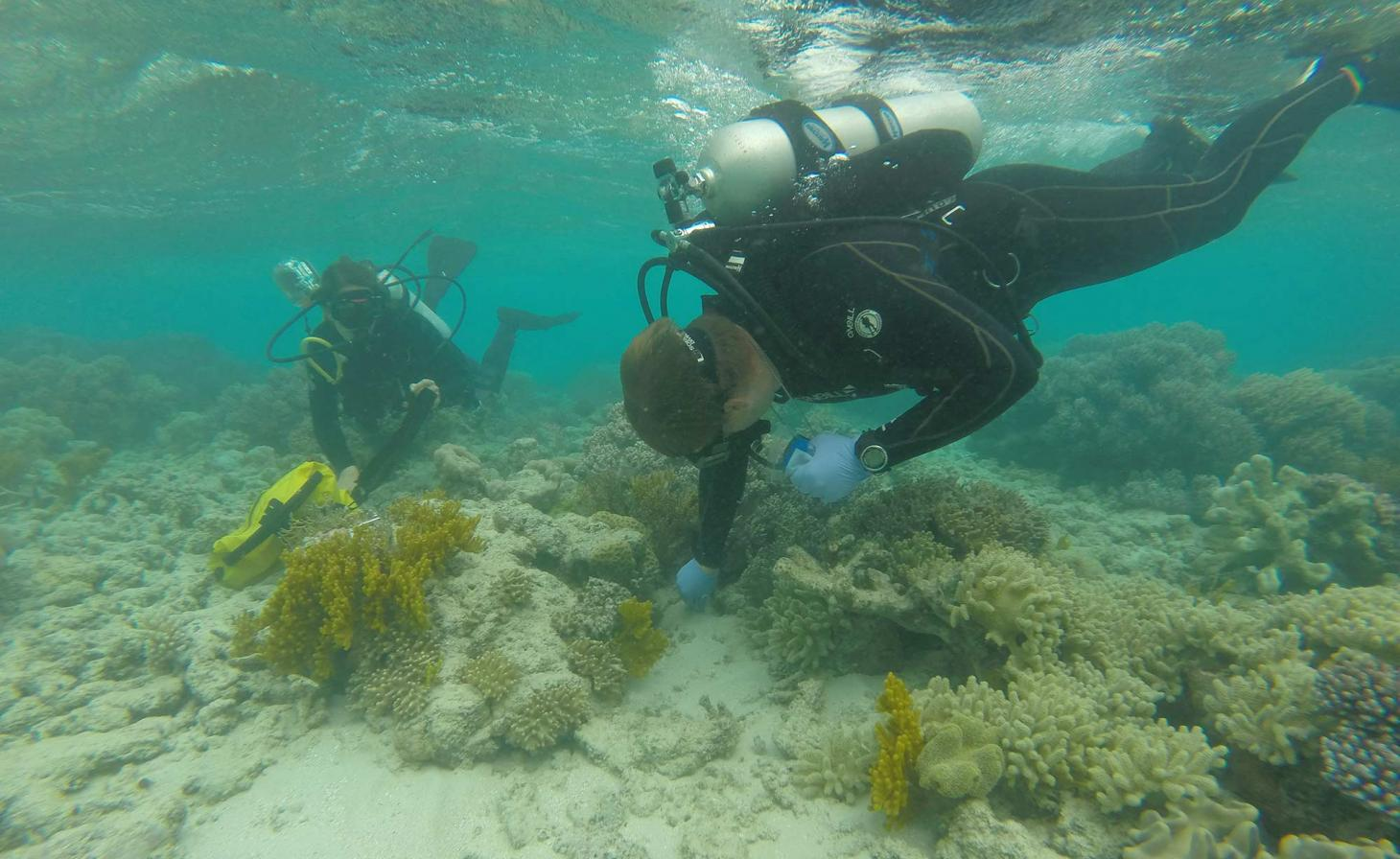 Scuba diver researching coral in shallow ocean