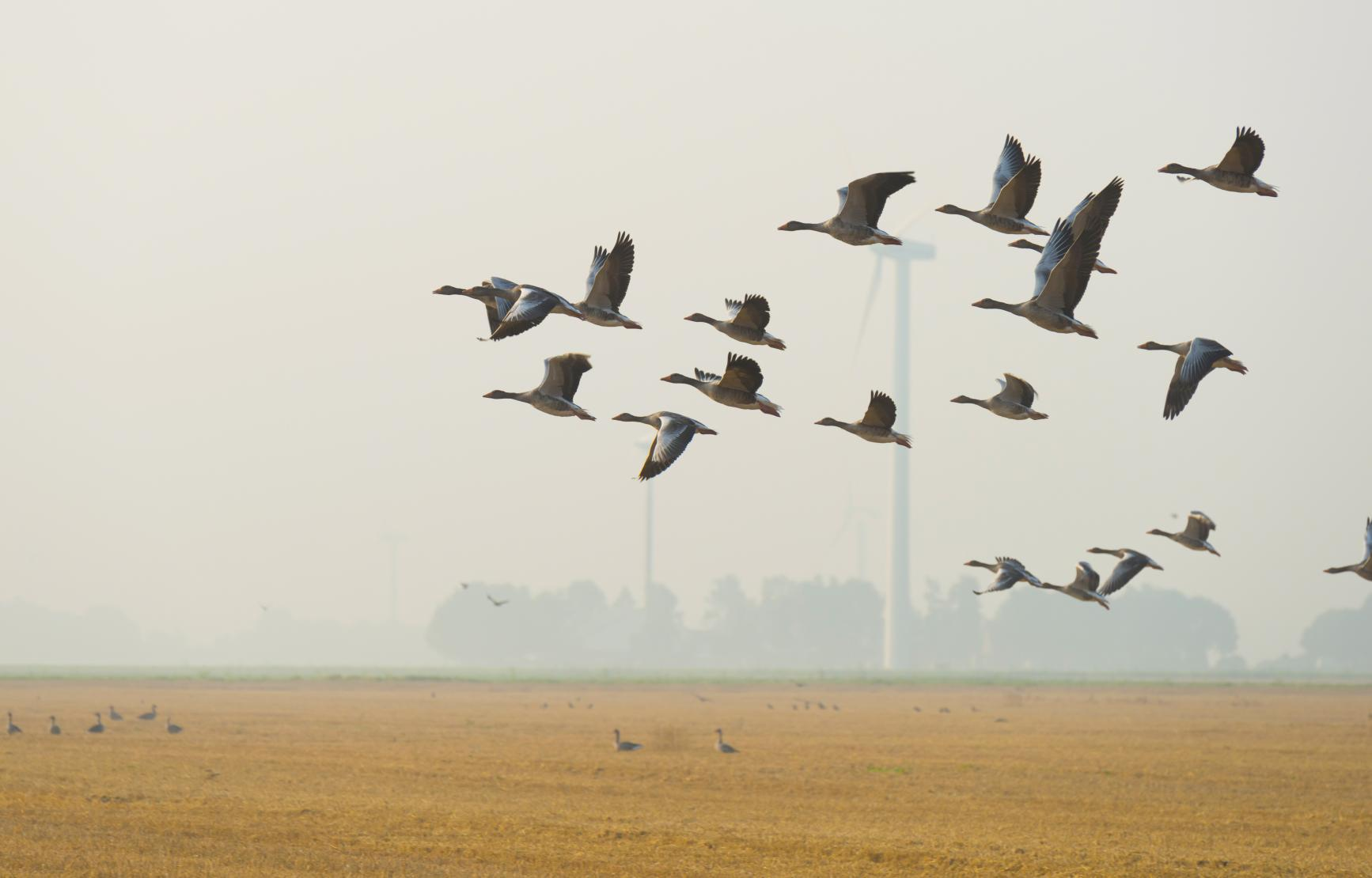 A flock of birds flying in the foreground with windmills in the background