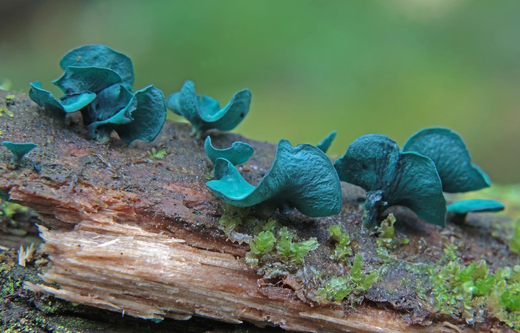 Blue fungus on a piece of wood