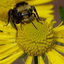 Bee pollinating on yellow daisy