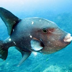 triggerfish swimming in shallow ocean