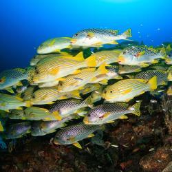 school of sweetlips swimming near ocean floor
