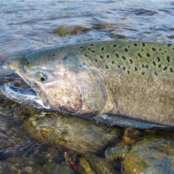 A Chinook Salmon swimming in white water