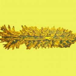 Stegastochlidus saraemcheana, a species of cylindrical bark beetle sitting in yellow amber.