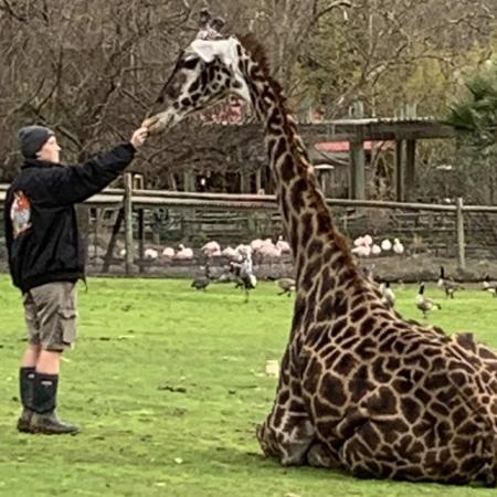 Molly Cordell cares for a giraffe at Safari West in Santa Rosa, CA