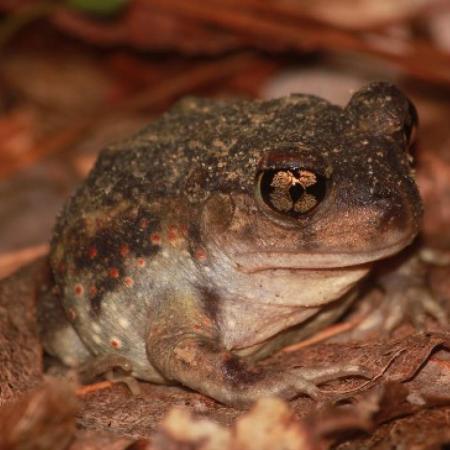 Eastern Spadefoot Toad sitting in leaves.