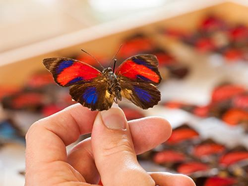 hand holding butterfly model above drawer full of insect models