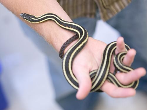 male student holding Garter snake on wrist