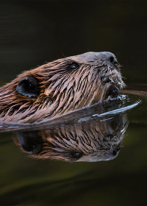 A majestic beaver in the wild (this person hasn't uploaded a profile photo yet).