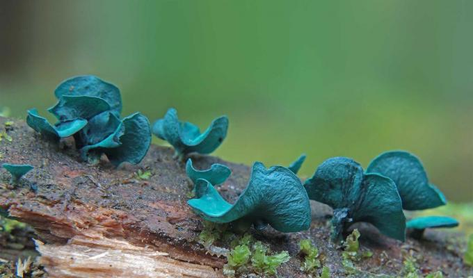 blue fungi sitting on log in forest
