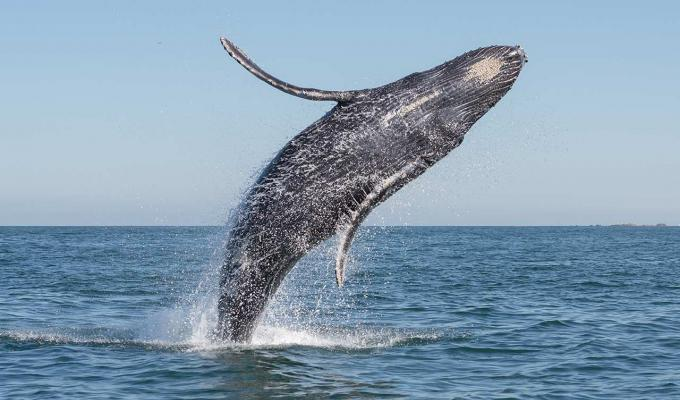Blue whale jumping from ocean surface