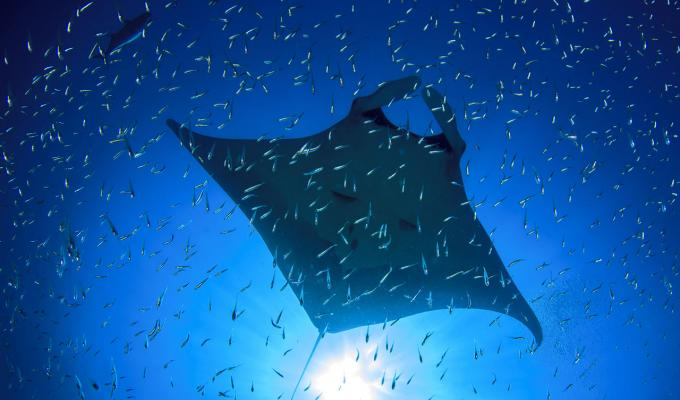 manta ray swimming though krill