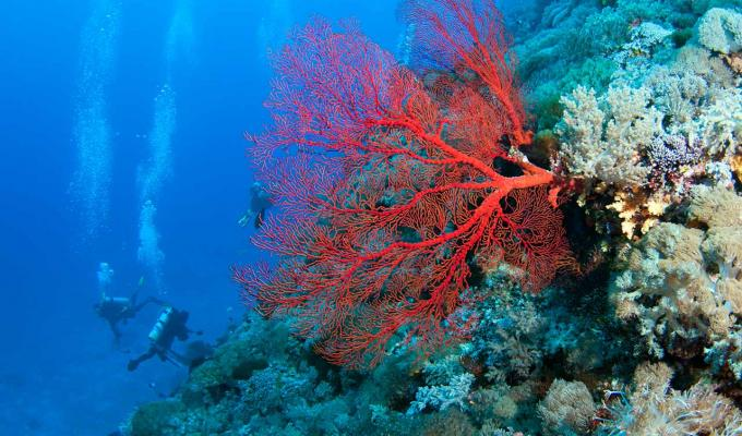 Red Fan Coral on shallow ocean floor