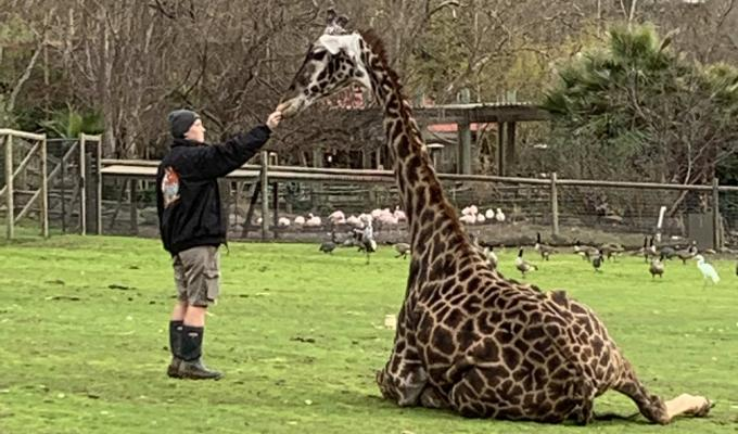 Molly Cordell cares for a giraffe at Safari West in Santa Rosa, CA