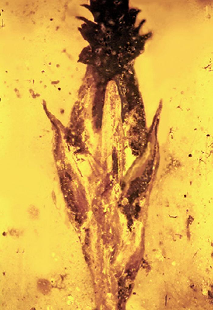 Microscopic image of spikelet fossil