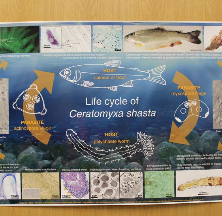 life cycle of ceratomyxa Shasta poster