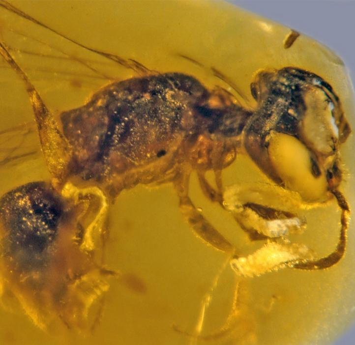 Bee with four beetle parasites