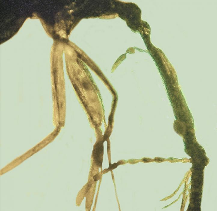 Closeup of Weevil's head with beak in light blue amber.